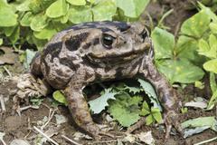 Aga toad (bufo marinus) Stock Photos