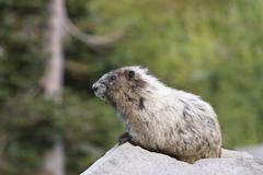 hoary marmot (marmota caligata), mount rainier nationalpark, washington, usa - stock photo