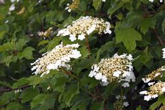 flowering snowball tree, european cranberrybush, guelder rose, water elder, c - stock photo