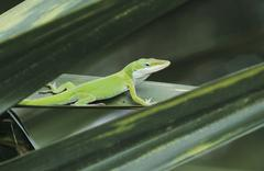 Stock Photo of green anole (anolis carolinensis), adult on palm leaf, sabal palm sanctuary,