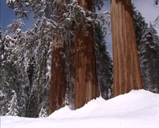 Three Giant sequoias, sequoiandendron giganteum, covered with snow + tilt up Stock Footage