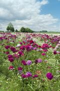 a field with sweet williams (dianthus barbatus) and daisies (leucanthemum), h - stock photo