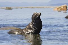 Stock Photo of californian sea lion (zalophus californianus) at cape alava, west coast, paci