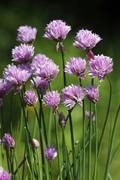 Stock Photo of flowering chives (allium schoenoprasum), spice plant