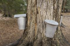 metal buckets attached to a tap in a sugar maple, collecting maple sap to mak - stock photo