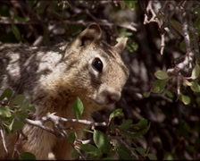 Rock Squirrel in shrub, close up - eye to eye Stock Footage