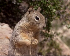 Rock Squirrel (Spermophilus variegatus) standing upright on a rock - eye to eye Stock Footage