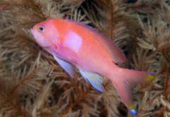 Squarespot anthias or pink square anthias (pseudanthias pleurotaenia), indone Stock Photos