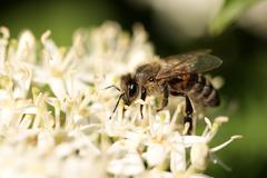 European honey bee (apis mellifera) on a white blossom, feeding Kuvituskuvat