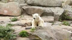Wild white polar bear (Ursus maritimus) on a mountain Stock Footage