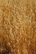 Field of ripe oats sunlit Stock Photos