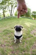 a young pug obeying a hand signal to sit, fisheye shot - stock photo