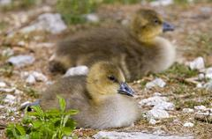 Two greylag geese (anser anser), fledglings Stock Photos