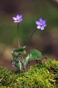 kidneywort (hepatica nobilis, anemone hepatica) - stock photo
