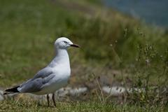 gull (laridae) on a meadow, nelson, south island, new zealand - stock photo