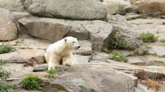 Polar bear (Ursus maritimus) on a mountain Stock Footage