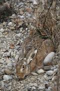 European hare (lepus europaeus) crouched in a shallow form, allgaeu, bavaria, Stock Photos