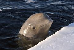 beluga, white whale (delphinapterus leucas), white sea, kareliya, karelia, no - stock photo