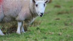(NTSC) Sheep Walks Field Close up Shallow DOF English Countryside Lake District Stock Footage
