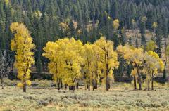 Autumn colored aspen trees and poplar trees (populus sp.), lamar valley, yell Stock Photos