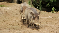 Two wild pigs, Wild pigs in daylight outdoor Stock Footage