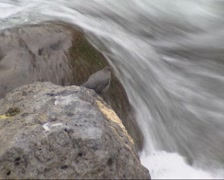American dipper, Cinclus mexicanus, bobbing up and down along a stream. Stock Footage
