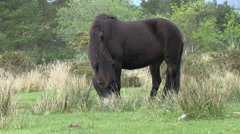 Grazing exmoor pony in south west england Stock Footage