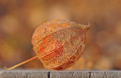 physalis, cape gooseberry, inca or aztec berry (physalis peruviana) - stock photo