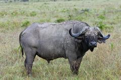 Stock Photo of old african buffalo (syncerus caffer) with purulent eye, lake nakuru national