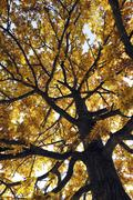 Oak tree (quercus) suffused with light in the autumnal ostpark, munich, bavar Stock Photos