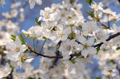 Stock Photo of blossoming wild cherry (prunus avium), ukraine, eastern europe