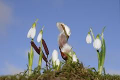 snowdrops (galanthus nivalis) and pussy willow (salix sp.) against a blue sky - stock photo