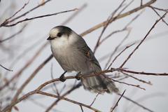 Stock Photo of gray jay, also grey jay, canada jay, or whiskey jack (perisoreus canadensis),