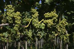 Riesling grapes, grape vines, hagnau am bodensee, bodenseekreis district, bad Stock Photos