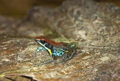Poison dart frog (epipedabates parvulus), tiputini rain forest, yasuni nation Stock Photos