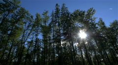 Sun shining through spruce forest Stock Footage