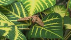 Amazon jungle moth on leaf  - stock footage