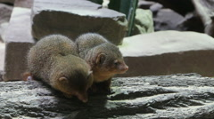 Two dwarf mongooses (Helogale parvula) snuggle Stock Footage