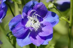 new millennium star (delphinium elatum hybrids) with sterile white pollen tub - stock photo