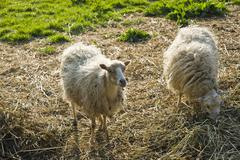 Skudde sheep, domestic sheep, near the wallmuseum, oldenburg in holstein, bal Stock Photos
