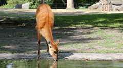 Stock Video Footage of Antelope drinking water from artificial lake
