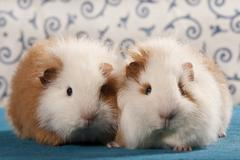 Two swiss teddy guinea pigs, pedigree guinea pigs Stock Photos