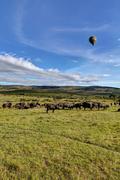african buffaloes, cape buffalos (syncerus caffer), large herd, maasai mara n - stock photo