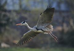 Grey heron (ardea cinerea) in flight, stuttgart, baden-wuerttemberg, germany, Stock Photos