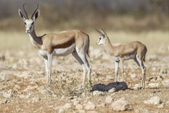Springbok (antidorcas marsupialis) and young, etosha national park, namibia,  Stock Photos