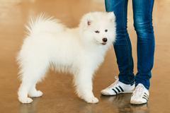 White samoyed dog puppy Stock Photos