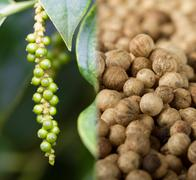 Collage of unripe pepper fruit (lat. Piper nigrum), and ripe pepper Stock Photos