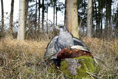 goshawk (accipiter gentilis) with pheasant (phasianus colchicus) prey, allgae - stock photo