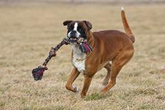 Boxer, male dog running with a tug training toy Kuvituskuvat
