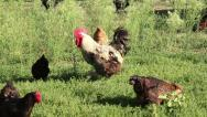 Stock Video Footage of Domestic Rooster 2